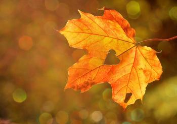 Orange yellow fall leave