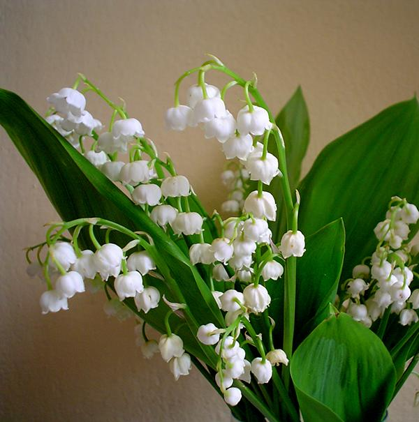 Lily Of The Valley 1383981g Adoptive Families Association Of Bc
